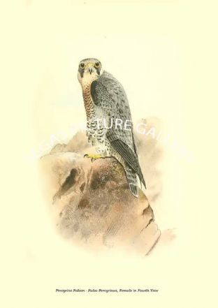 Peregrine Falcon - Falco Peregrinus, Female in Fourth Year